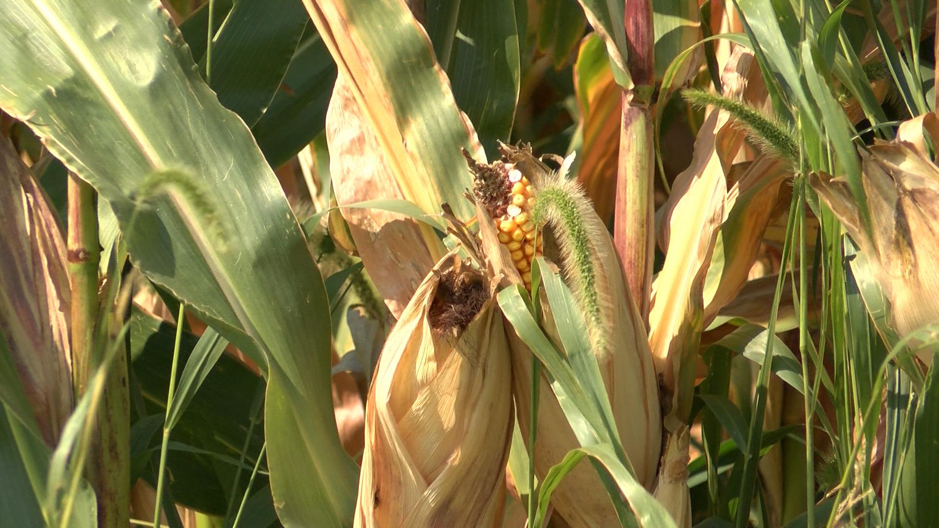 Corn yields_1505514848257.jpg