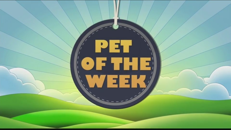 Pet of the Week Guinea Pigs