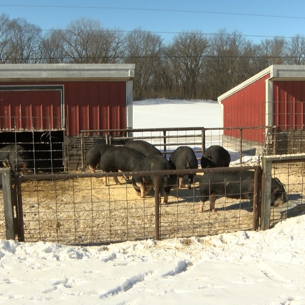 Farm animals in the cold_1548882449227.jpg.jpg