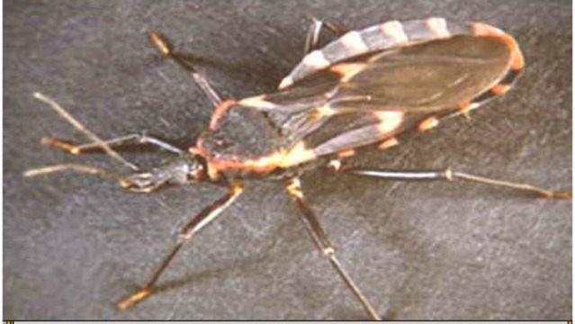 KISSING BUG_1556645253767.jpg.jpg