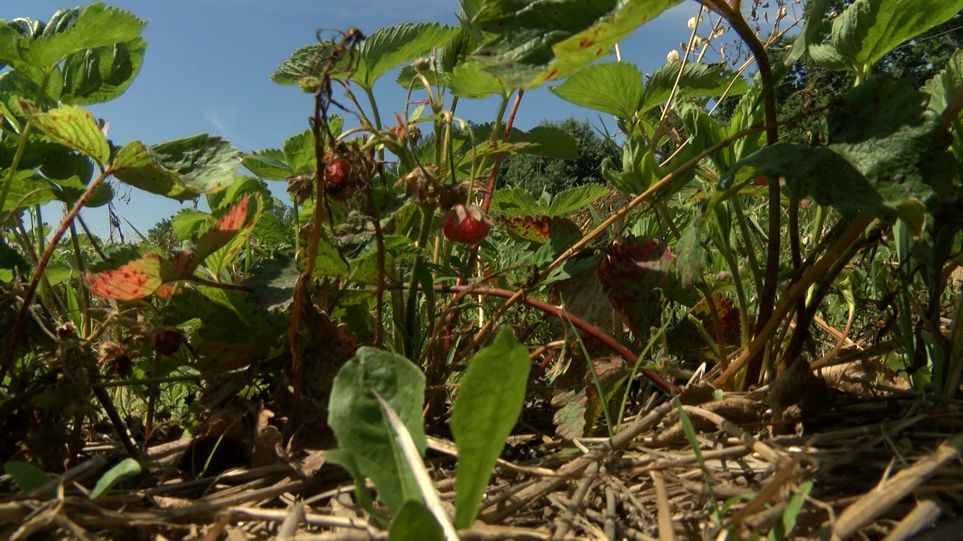 strawberry_1560292786171.jpg